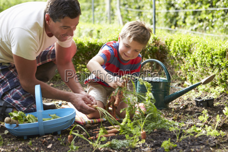 father and son harvesting carrots on