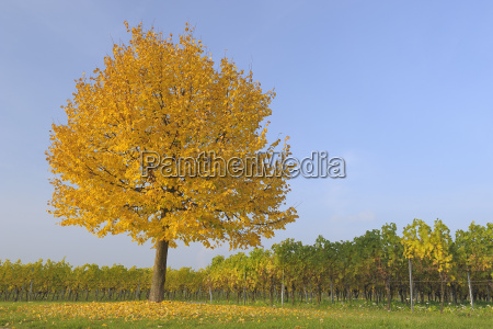 lone tree in vineyard volkach franconia