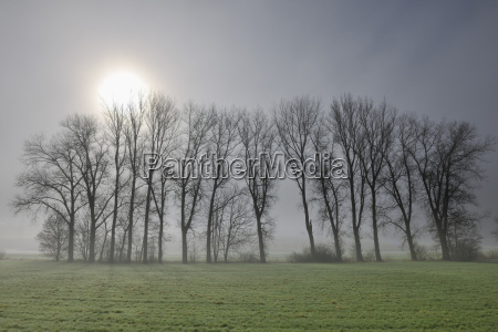 row of trees in morning fog