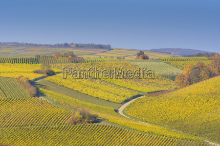colorful vineyards in autumn volkach alte