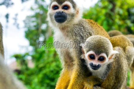 pair of squirrel monkeys