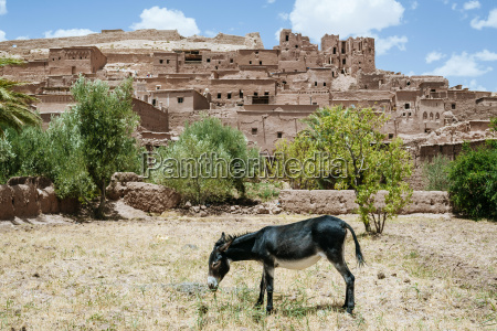 morocco ouarzazate donkey grazing in front