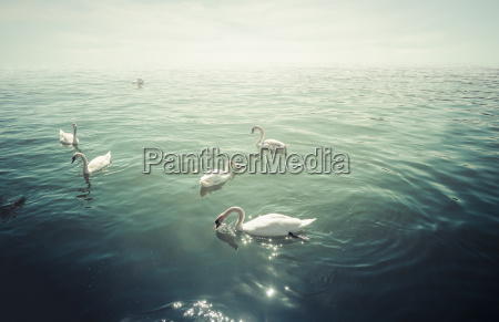 group of mute swans on lake