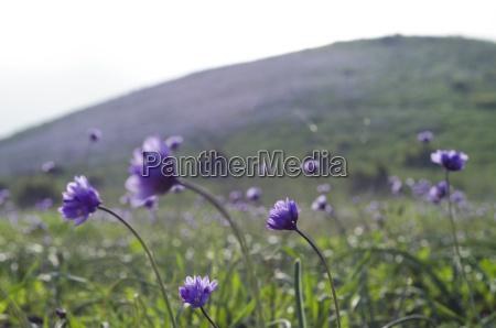 wildflowers auf den huegeln von chumash