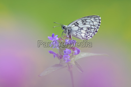 marbled white on flower head