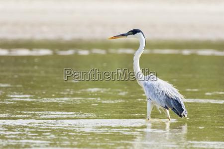peru manu national park cocoi heron