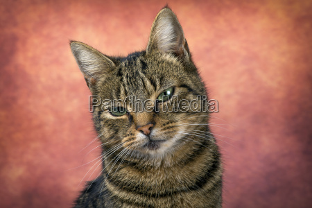 portrait of tabby cat in front