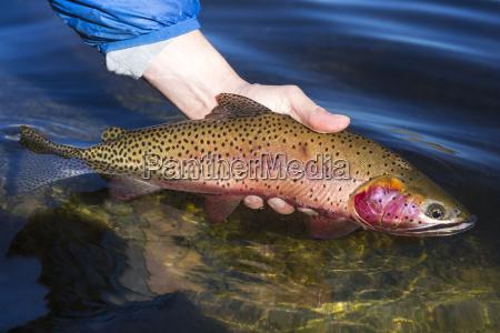 eine abtruennige forelle fisch gefangen in