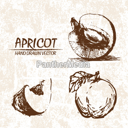 digital vector detailed apricot hand drawn