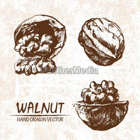 digital vector walnut hand drawn illustration