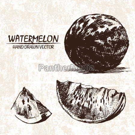 digital vector detailed watermelon hand drawn