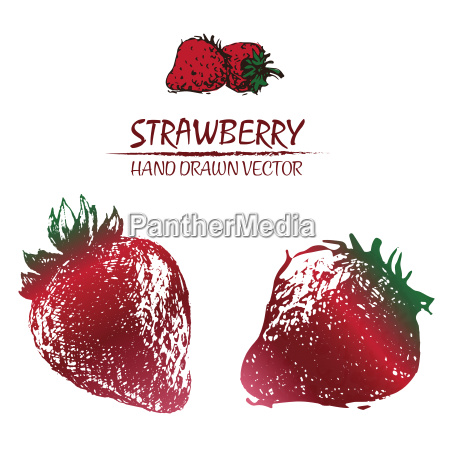 digital vector detailed color strawberry drawn