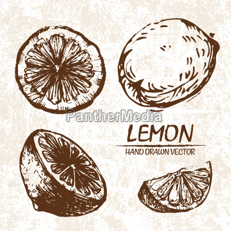 digital vector detailed lemon hand drawn