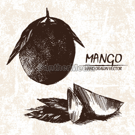 digital vector detailed mango hand drawn
