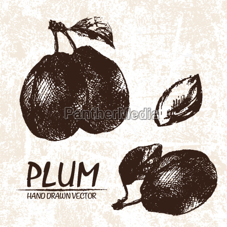 digital vector detailed plum hand drawn
