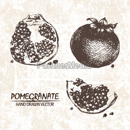 digital vector detailed pomegranate hand drawn