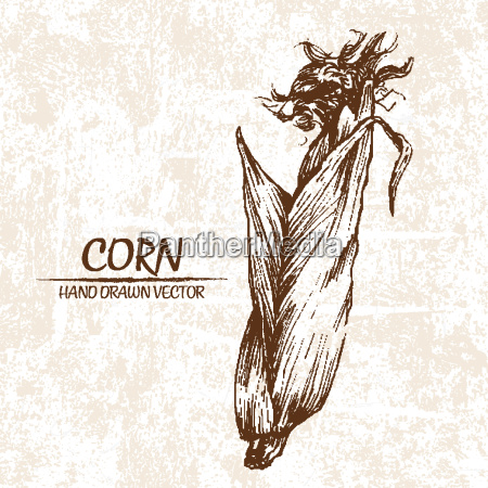 digital vector detailed corn hand drawn