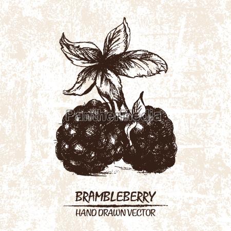 digitaler, vektor, detaillierte, brambleberry, hand, gezeichnet - 20608773