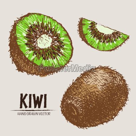 digitaler vektor detaillierte farb kiwi hand