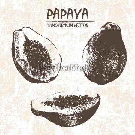 digitale vektor detaillierte papaya hand gezeichnet