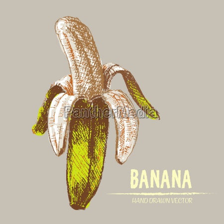 digital vector detailed banana hand drawn