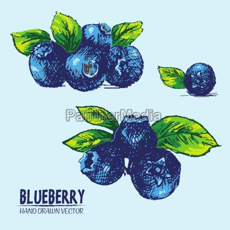 digitaler vektor detaillierte farbblueberry hand gezeichnet