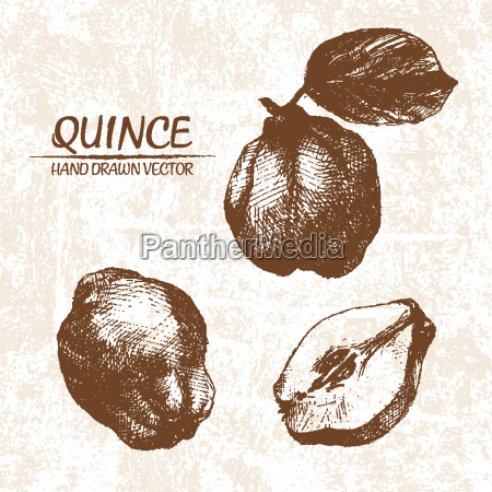 digital vector detailed quince hand drawn