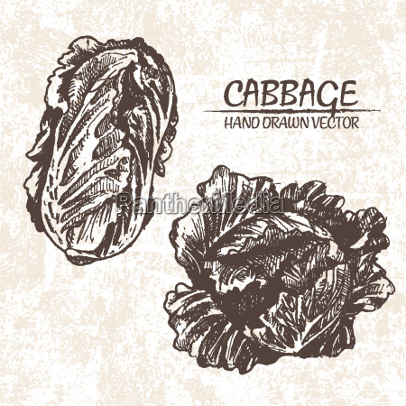 digital vector detailed cabbage hand drawn