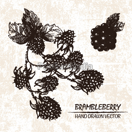 digital vector detailed brambleberry hand drawn