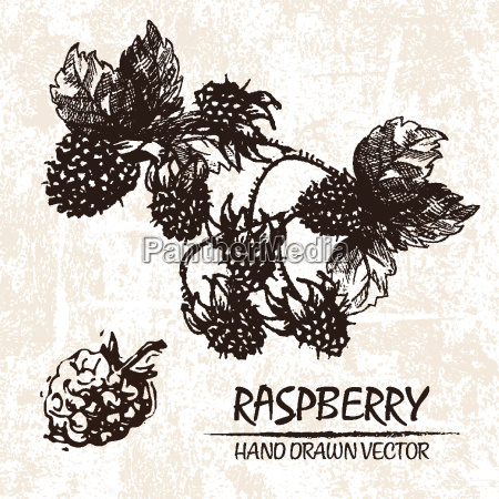 digital vector detailed raspberry hand drawn