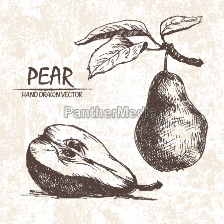 digital vector detailed pear hand drawn