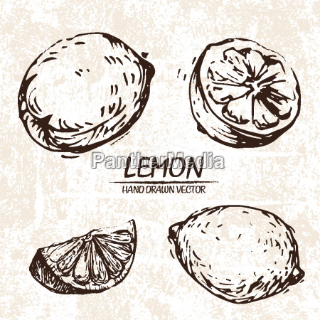 digital vector detailed lemon hand drawn