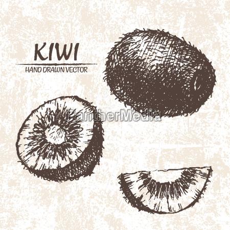 digitaler vektor detaillierte kiwi hand gezeichnet