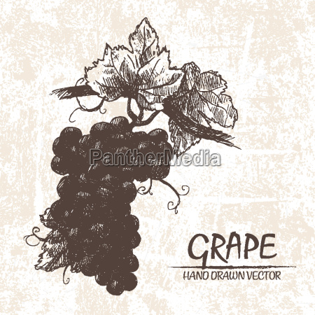 digital vector detailed grape hand drawn