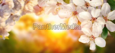 kirschblueten umrahmen die warme untergehende sonne