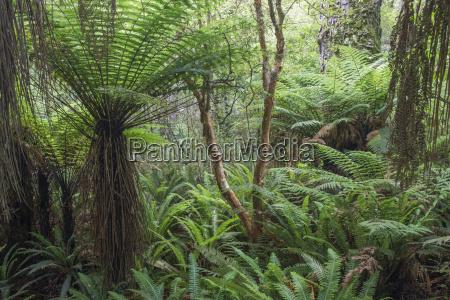 farne im regenwald wachsenpurakaunuiin der naehe