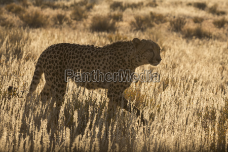 cheetah acinonyx jubatuskgalagadi transfrontier parknorthern capesuedafrikaafrika