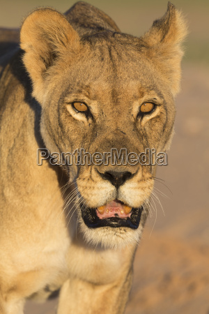 löwin, (panthera, leo),in, der, kalahari, kgalagadi - 20905145