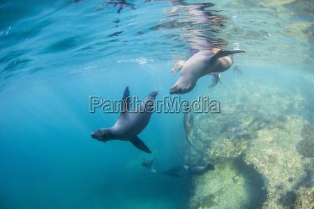 curious california sea lion pups zalophus