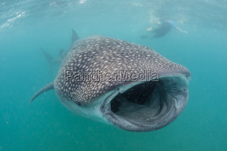 whale shark rhincodon typus underwater with