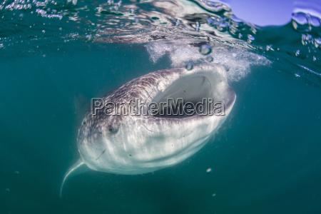 whale shark rhincodon typus filter feeding