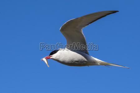 adult arctic tern sterna paradisaea returning