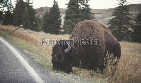 usa yellowstone national park bison grazing