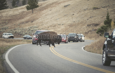 usa yellowstone national park bison crossing