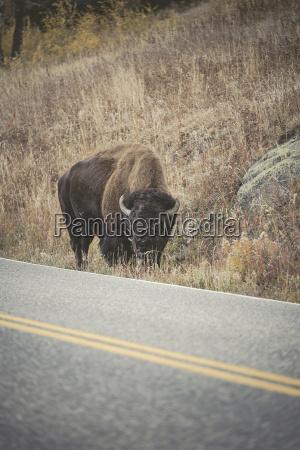 usa yellowstone national park bison standing