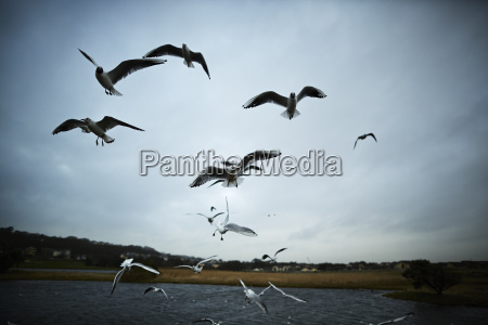 flock von moewen fliegen in der