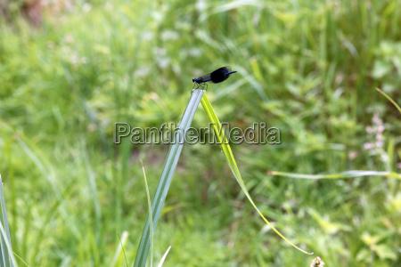 maennliche gebaenderte prachtlibelle calopteryx splendens