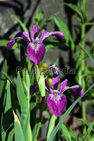 schwertlilie iris spec