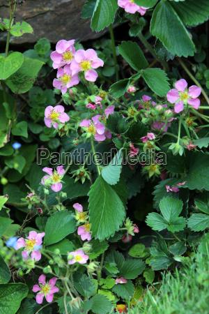 erdbeerpflanze mit rosa blueten